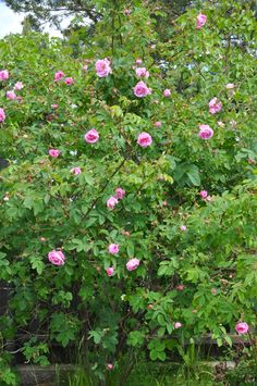 Hurdalsrose - from my garden