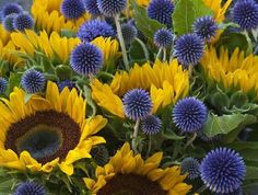 The contrast color of Sunflowers and Echinops.