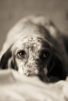 ♥Reminds me of my long past dog, a liver and white English Setter named, Abby!  She was a loyal dog!  Always the hunter , I miss her!