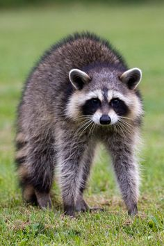 Sorry person but that's not a confused raccoon...that's a raccoon that's about to kick your ass if you get any closer!