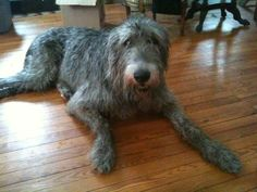 Alistair Irish Wolfhounds, Gentle Giant, Dogs, Pet Dogs, Doggies