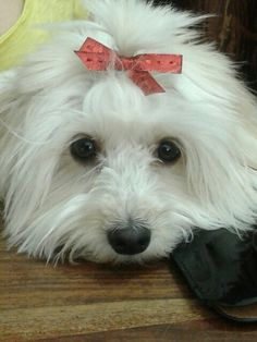 #my #dog #Daisy #my #love #maltese #beauty #queen ♥