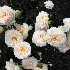 Heirloom Roses | Cream Abundance™