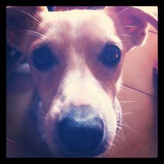 jack russell terier named kristof