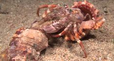 Incredible Footage Of Hermit Crab Changing Shells With Anemones!