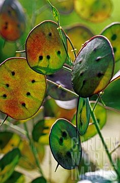 Honesty Seed Pods (Lunaria annua)