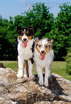 Two Australian Shepherd Puppies