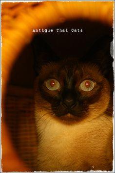 red eyes 猫 cat แมว ไทย アンティークタイキャットAntique Thai Cats シャム猫 Siamese วิเชียรมาศ タイ Thailand