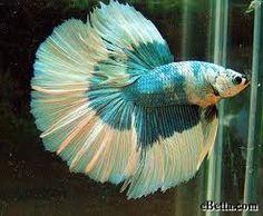 Spotlight Beta Fish /Green Butterfly Male