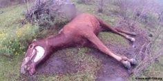 Sangue de cavalo | Parece um filme de terror: centenas de éguas prenhas presas a máquinas que extraem todo o sangue delas até a morte.  Tudo isso para que as farmacêuticas possam vender hormônios para criadores de porcos.  A tortura industrial de cavalos é impulsionada por empresas farmacêuticas européias – elas usam o hormônio do sangue para acelerar a reprodução de animais na pecuária industrializada.