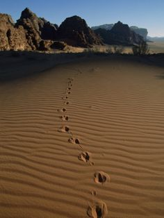 Animal Tracks Mark The Desert Land Of Wadi Rum.Jordan
