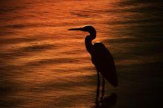 egret silhouette sunset