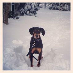 Our Doberman Pinscher, Cooper, and his first blizzard.