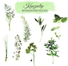 Watercolor Herbs Set by Kaazuclip on Creative Market