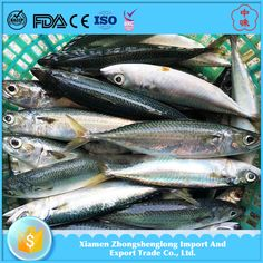 Frozen Whole Round Pacific Mackerel Scomber Japonicus Size 200-300g.