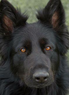 Black German Shepard, Long Coat German Shepherd, Cute German Shepherd Puppies, German Shepherds, Doggies, Dogs And Puppies, Wolf, Black Dogs, Husky Dog