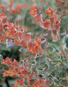 Adenanthos 'Coral Carpet'