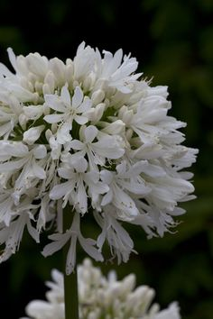 Buy African lily Agapanthus