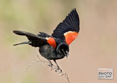 As it fluttered to maintain its balance on the slender branch, this red-winged blackbird displayed its beautiful shoulder badges.