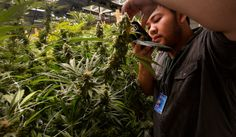 Five immediate concerns for states with new marijuana laws #HighFinanceReport
