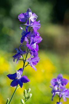 Delphinium plants, commonly called Larkspur, produces elegant floral spikes that burst into color each spring. This is one plant the hummingbirds and butterflies LOVE! Click to see our selection of larkspur! Attracting Hummingbirds, How To Attract Hummingbirds, Larkspur Plant, Delphinium Plant, Plant Sale, Spikes, Butterflies, Elegant, Spring
