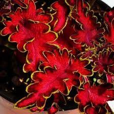 Image result for Coleus Bloom