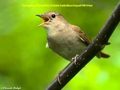 Something different for afternoon chilling? Tired of downtempo music? Hear the beautiful singing of the nightingale of the land of Solar. Sun Music, Nightingale, Singing, Chilling, Tired, Ears, Solar, Animals, Beautiful