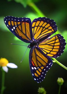 Viceroy Butterfly by Mark Andrew Thomas
