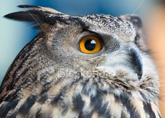 Owls see everything Royalty Free Stock Photo