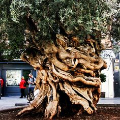 100 yr old olive tree, Palma De Mallorca - Beautiful Places To Visit, Oh The Places You'll Go, Unique Trees, Holiday Places, Balearic Islands, European Vacation, Nature Tree, Olive Tree, Spain Travel