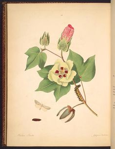 1797 - The natural history of the rarer lepidopterous insects of Georgia :including their systematic characters, the particulars of their several metamorphoses, and the plants on which they feed. Collected from the observation of Mr. John Abbot, many years resident in that country /by James Edward Smith.