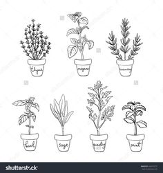 Herbs and spices set/ Housegrown herbs/ Culinary herbs in pots with labels/ Thyme, oregano, rosemary, basil, sage, parsley, mint sketches/ Hand drawn herbs and spices isolated/ Vector illustration