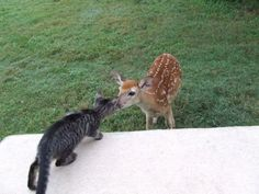 Cats and Deer