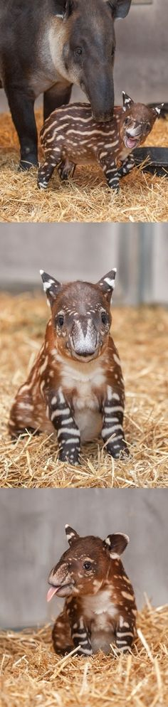 This Baby Tapir is the Most Painfully Adorable Thing You'll See All Week #EasyNip by carter flynn