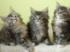 Three maine coon kittens Wallpaper. Adorable! Link: http://www.cats-wallpapers.com/wallpaper/three-maine-coon-kittens_w78.html#