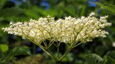 Watch This Video Exalted Remedies for Sinusitis and Allergies Ideas. Graceful Remedies for Sinusitis and Allergies Ideas. Home Remedies For Allergies, Sinus Allergies, Allergy Remedies, Elderberry Growing, Elderberry Shrub, Natural Home Remedies, Herbal Remedies, Seasonal Allergies, Elderflower