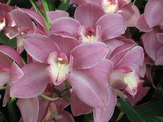 Orchids  Longwood Gardens