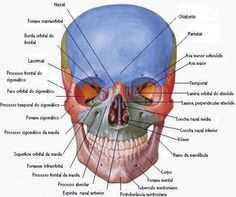 Dentistry and Medicine: 280 Head and Neck Anatomy MCQ (Multiple Choice Questions) Questions with Answers Skull Anatomy, Head Anatomy, Gross Anatomy, Brain Anatomy, Medical Anatomy, Human Anatomy And Physiology, Anatomy Study, Anatomy Art, Anatomy Bones