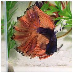 A beautiful male bicolour Betta. Pretty Fish, Beautiful Fish, Animals Beautiful, Colorful Fish, Tropical Fish, Breeding Betta Fish, Betta Fish Types, Aquarium Ornaments, Beta Fish