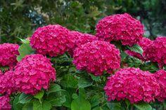 Hydrangea Macrophylla, Pots, Comment Planter, Pot Plante, Plantation, Salvia, Planters, Home And Garden, Flowers