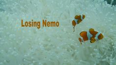 Losing Nemo:  While we were on Lizard Island filming Justin Marshall's Research trip we were horrified by the extent to which the reef was bleached. CORAL BLEACHING IS HAPPENING NOW ON THE GREAT BARRIER REEF. This is a statement of fact (we filmed it...we were there). #auspol