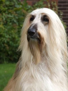 afghan hound fuzzy face (natural face)