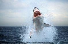 Achtung: Vorsicht! hier greift ein weißer Hai mit voller Gewalt an. - BuzzerStar Interessante Neuigkeiten aus der Welt auf BuzzerStar.com : BuzzerStar News - http://www.buzzerstar.com/achtung-vorsicht-hier-greift-ein-weisser-hai-mit-voller-gewalt-an-6d52b7429.html