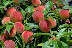 Growing Peaches - Organic Gardening - MOTHER EARTH NEWS