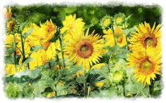 Watercolor sunflower painting...