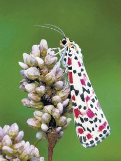 Crimson speckled moth.