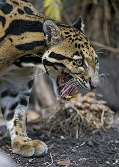 Clouded leopard walking