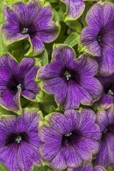Supertunia Picasso in Blue has blue purple blooms accented with a cerise green edge. A delight in containers. New this spring.