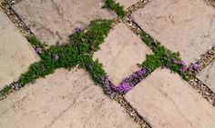 Flowers that grow in pavement cracks.