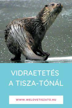 Ideális program gyerekekkel. Minden nap két alkalommal vidraetetés a Tisza-tavi ökocentrumban. Olvasd el a részleteket és 5 érdekességet a vidrákról! #vidra #Tisza-tó Nap, Minden, Animals, Animales, Animaux, Animal, Animais